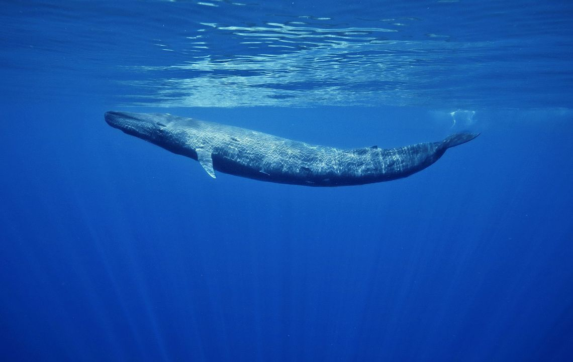 Blue-Whale-HD-Desktop.jpg